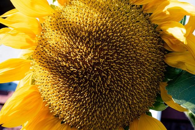 Dojrzałe duże zbliżenie kwiatu słonecznika