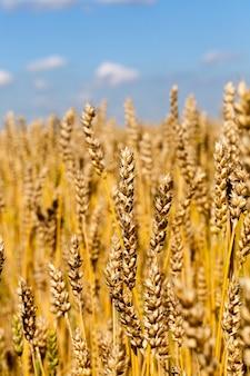 Dojrzałe duże ziarno w pszenicy kłosy gotowe do zbioru, ale przed zbiorami, zbliżenie w lecie