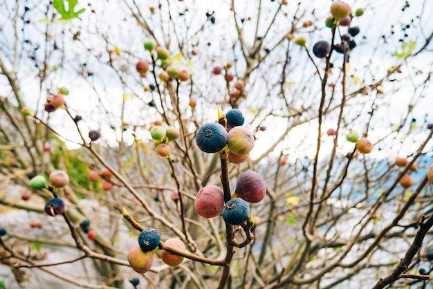 Dojrzałe figi na drzewie figowców czarnogórskich