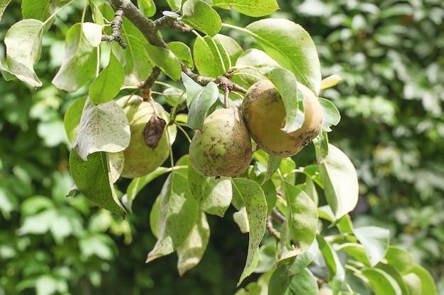 Dojrzałe gruszki na drzewie w naturze