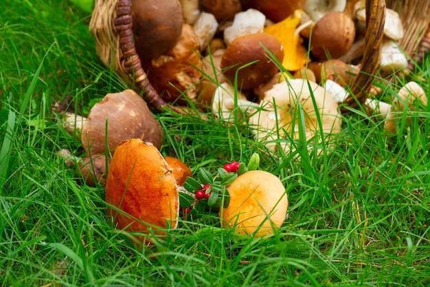 Dojrzałe grzyby w wierzbowym koszu na świeżej zielonej trawie