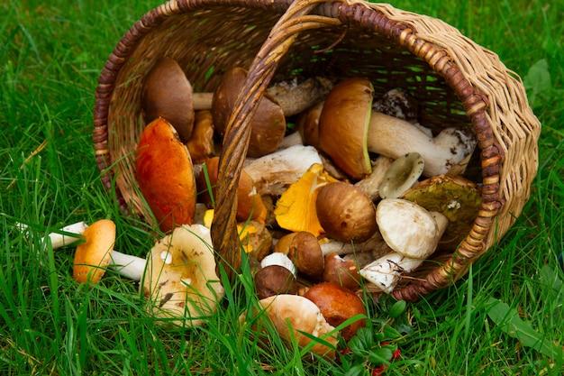 Dojrzałe grzyby w wierzbowym koszu na zielonej trawie