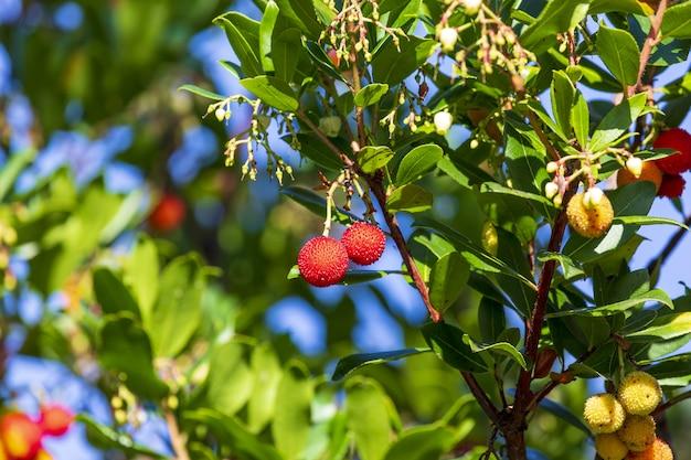 Dojrzałe i pół dojrzałe owoce madroño (ripe arbutus). naturalna tekstura zielonych liści i czerwonych jagód