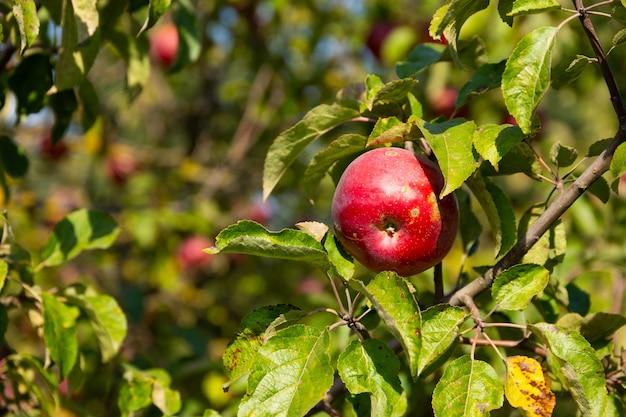 Dojrzałe i soczyste czerwone jabłka zawieszone na drzewie