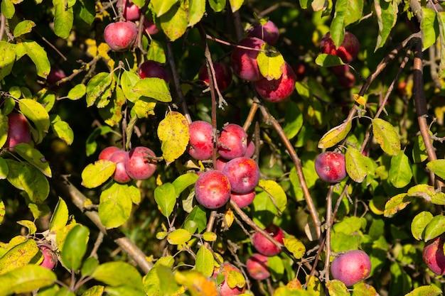 Dojrzałe i soczyste czerwone jabłka zawieszone są na drzewie.