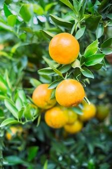 Dojrzałe i świeże pomarańcze wiesza na gałąź, pomarańczowy sad