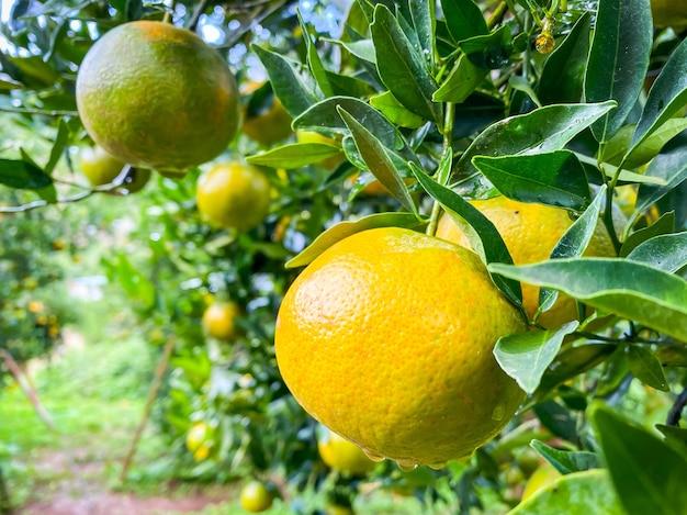 Dojrzałe i świeże pomarańcze wiszące na gałęzi