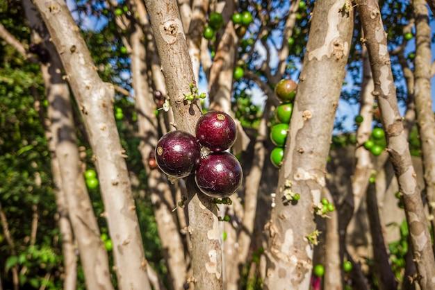 Dojrzałe i zielone owoce jabuticaba na drzewie.