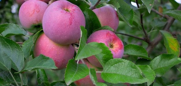 Dojrzałe jabłka florina wiszą na drzewie.