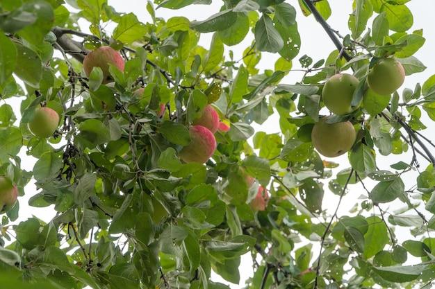 Dojrzałe jabłka na gałęzi drzewa na tle nieba