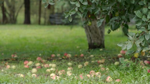 Dojrzałe jabłka na ziemi w ogrodzie