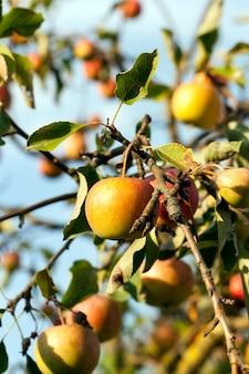 Dojrzałe jabłka whist na jabłoni późnym latem lub wczesną jesienią, jabłka koloru czerwono-żółtego
