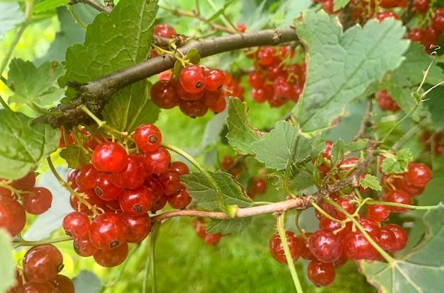 Dojrzałe jagody czerwonej porzeczki zwisają na krzaku o zielonych liściach. zdjęcie studyjne.