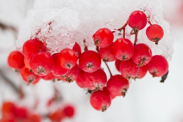 Dojrzałe jagody jarzębiny pokryte śniegiem. zbliżenie, selektywne focus.