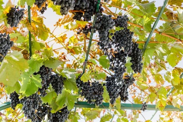 Dojrzałe kiście czarnych winogron na winorośli na zewnątrz. jesienne zbiory winogron w winnicy do produkcji wina. cabernet sauvignon, merlot, pinot noir, winogrona sangiovese. uprawa winorośli, koncepcja domowej produkcji wina