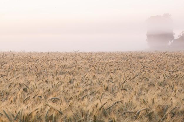 Dojrzałe kłosy pszenicy na polu pszenicy