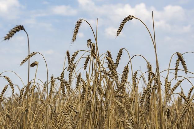 Dojrzałe kłosy pszenicy stoją na tle letniego błękitnego nieba.