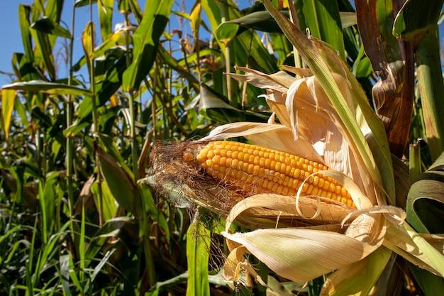 Dojrzałe kolby kukurydzy na środku plantacji.