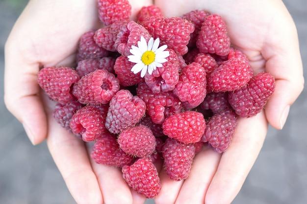 Dojrzałe maliny i kwiat rumianku w dłoniach