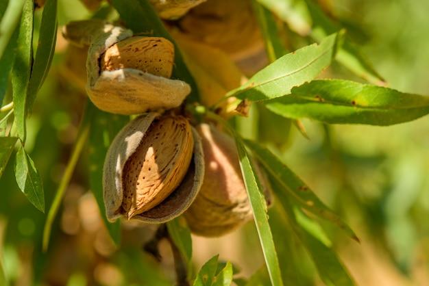 Dojrzałe migdały na gałęzi drzewa, z bliska w cieniu