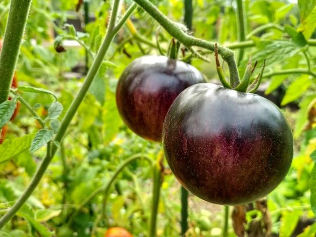 Dojrzałe naturalne pomidory rosnące w szklarni. skopiuj miejsce