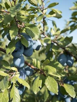 Dojrzałe niebieskie śliwki na gałęzi w ogrodzie. jesienne zbiory.