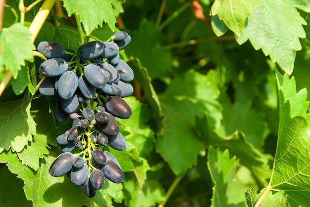 Dojrzałe niebieskie winogrona na gałęzi świeciło słońcem, na zewnątrz, selektywna ostrość