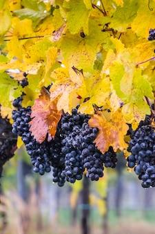 Dojrzałe niebieskie winogrona na gałęzi z kroplami rosy jesienią winnicy selektywnej ostrości