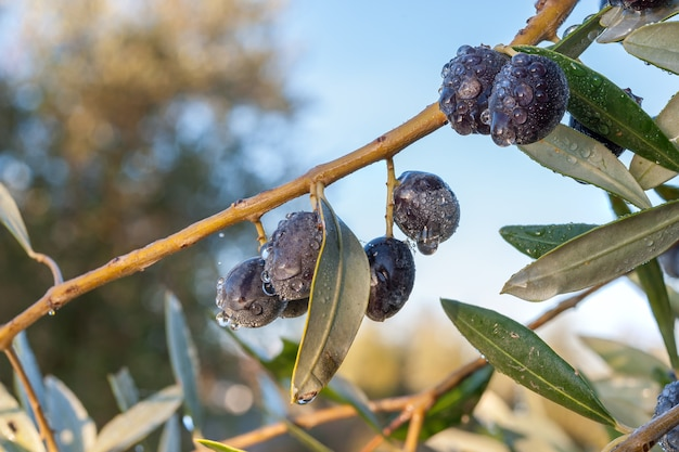 Dojrzałe oliwki na gałęzi w sadzie po deszczu, jesienne zbiory