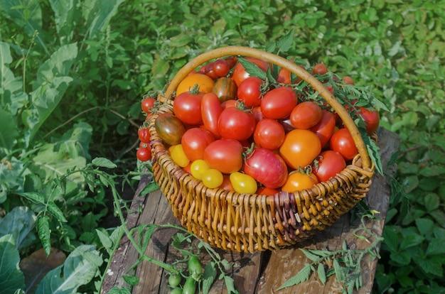 Dojrzałe organiczne pomidory ogrodowe gotowe do zbioru w polu w słoneczny dzień. zbiór świeżych organicznych pomidorów w ogrodzie.