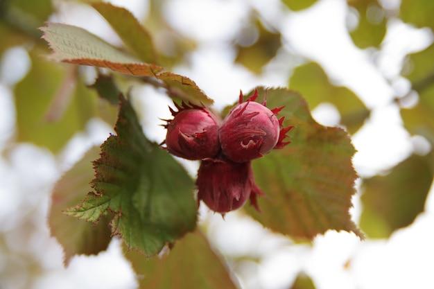 Dojrzałe Orzechy Laskowe Rosną Na Drzewie W Ogrodzie Premium Zdjęcia