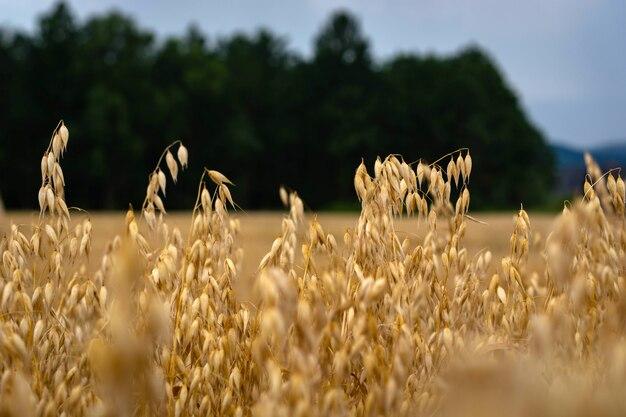 Dojrzałe owies w polu na tle nieba
