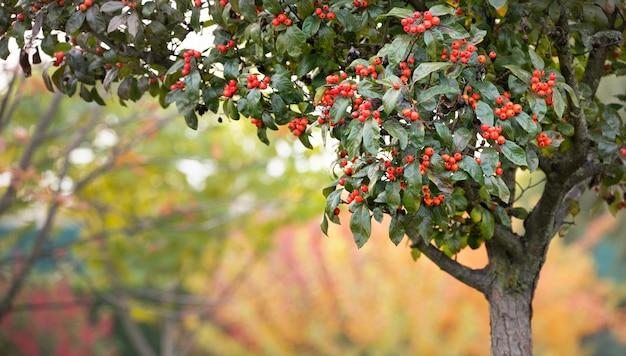 Dojrzałe owoce głogu na drzewie. selektywne skupienie.