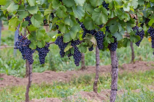 Dojrzałe owoce kiści winogron jesienią
