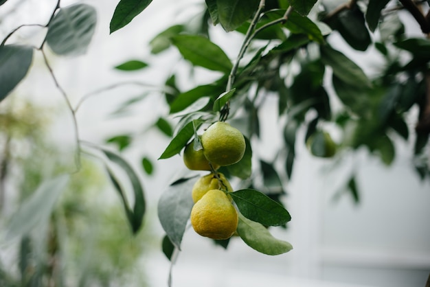 Dojrzałe owoce tropikalne rosną na drzewach. dżungla. las