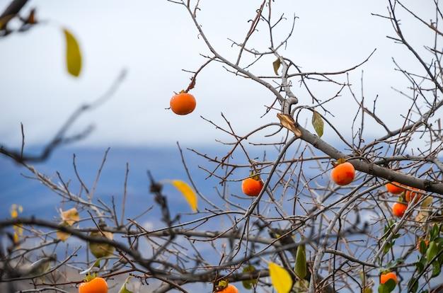 Dojrzałe persimmons z kroplami rosy na owocach