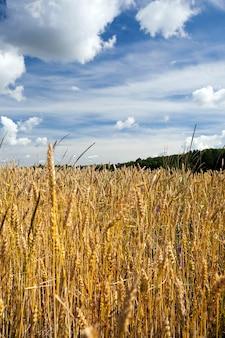 Dojrzałe pole żyta z suchymi żółtymi kłosami i fioletowymi kwiatami rosnącymi między nimi, zbliżenie latem, ziarno żyta posłuży do karmienia zwierząt i przygotowania chleba