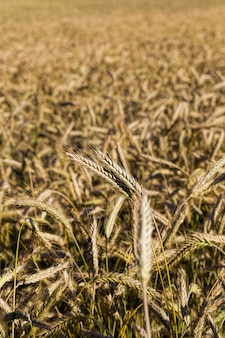 Dojrzałe, pożółkłe zboża na gruntach rolnych, uprawiane dla plonu i zysku