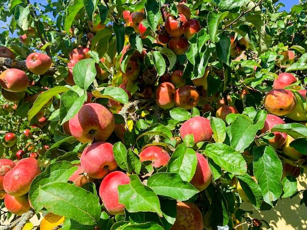 Dojrzałe, słodkie, soczyste owoce jabłoni.