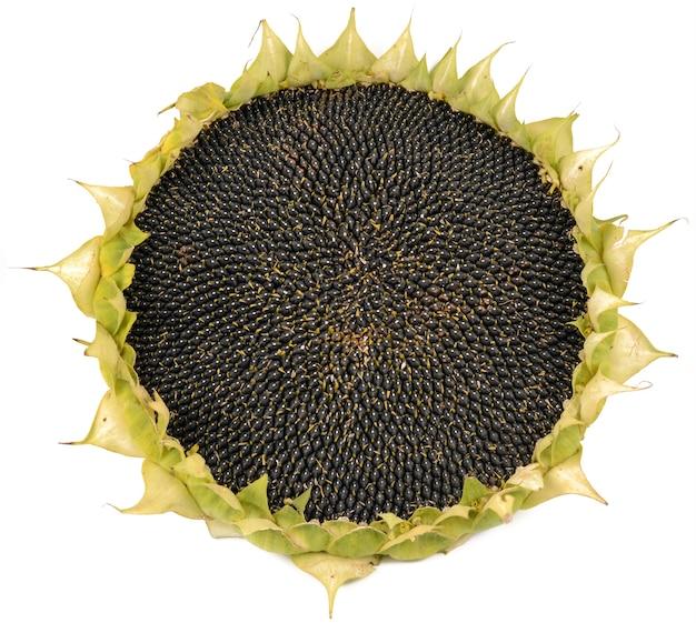 Dojrzałe słonecznik z bliska szczegółów na białym tle