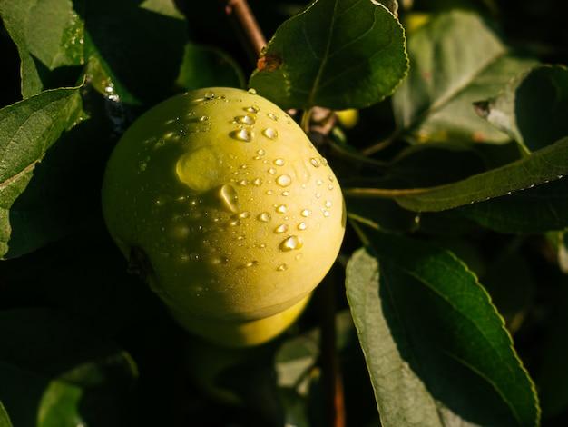 Dojrzałe, soczyste jabłka wiszą na gałęzi. jabłka z kroplami deszczu