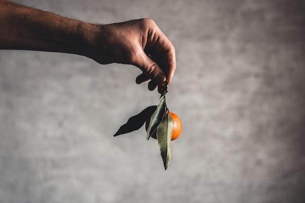 Dojrzałe, soczyste, słodkie mandarynki pomarańczowe w ludzkiej dłoni na ciemnym tle.