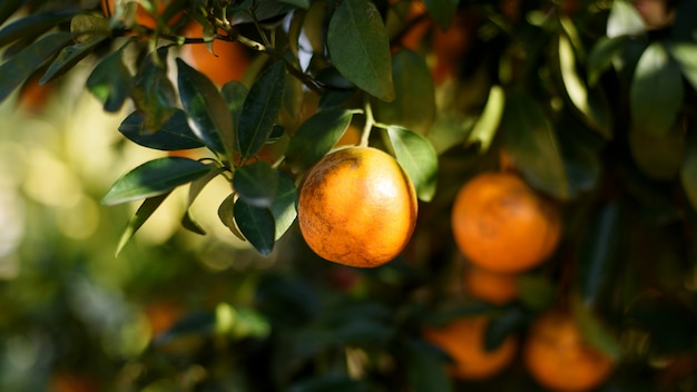 Dojrzałe świeże pomarańcze wiesza na drzewie w pomarańczowym sadzie