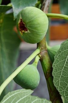 Dojrzałe, świeże, zielone figi na drzewie.