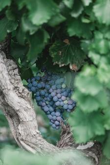 Dojrzałe winogrona na gałęzi w świetle słonecznym