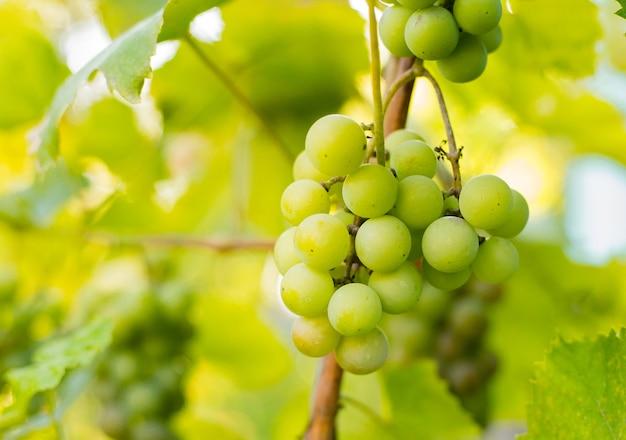 Dojrzałe winogrona na gałęzi z liśćmi w koncepcji regionu winiarskiego, żywności i przyrody