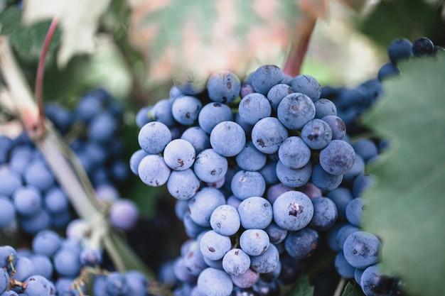 Dojrzałe winogrona na gałęzi