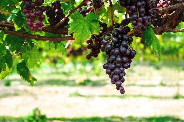 Dojrzałe winogrona wisiały na winnicach drzew winogronowych. w porannej winnicy.