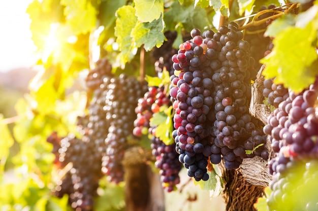 Dojrzałe winogrona