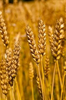 Dojrzałe zboża dojrzewające kłosy zbóż